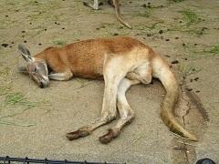 koiblog 120422  s  kangaroo2.jpg