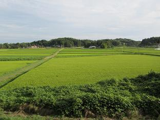 100901  s  GM rice paddy.jpg